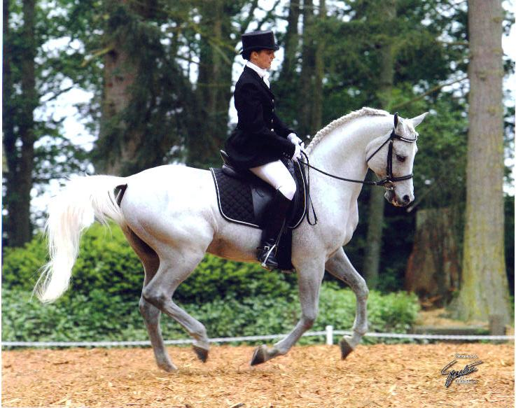 17 Best images about Arabian Horses - Hunters and Sports ...